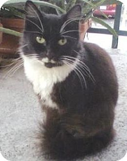 Domestic Mediumhair Cat for adoption in Miami, Florida - Tuxedo