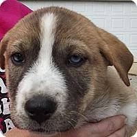 Adopt A Pet :: Lila - Danbury, CT