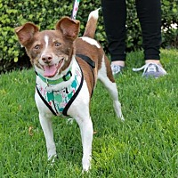 Rat Terrier Dog for adoption in El Segundo, California - Gizmo