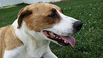 German Shorthaired Pointer/Hound (Unknown Type) Mix Dog for adoption in Mechanicsburg, Pennsylvania - Dixie