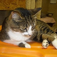 Domestic Mediumhair Cat for adoption in Spring Lake, New Jersey - Miss Kitty