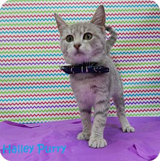 Domestic Shorthair Kitten for adoption in Bucyrus, Ohio - Halley Purry