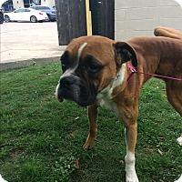 Adopt A Pet :: Cheech - Austin, TX