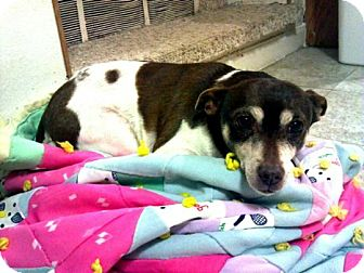 Rat Terrier Mix Dog for adoption in Prole, Iowa - Wendy