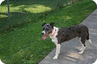 Australian Cattle Dog/Catahoula Leopard Dog Mix Dog for adoption in Morgantown, West Virginia - June