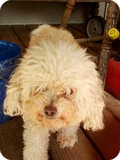 Poodle (Miniature) Mix Dog for adoption in Houston, Texas - Muffin