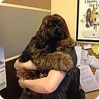 Adopt A Pet :: Rupert Kingsley - Brattleboro, VT