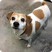 Adopt A Pet :: Precious - Brattleboro, VT