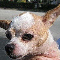 Chihuahua Dog for adoption in Satellite Beach, Florida - Teeny
