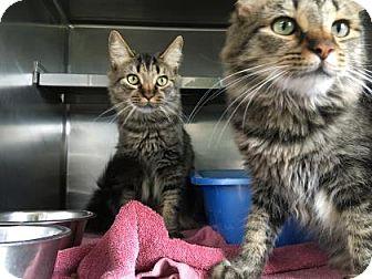 Domestic Longhair Cat for adoption in Monroe, Michigan - Bailey
