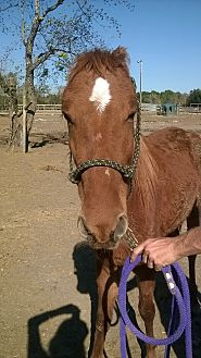 Quarterhorse Mix for adoption in Hitchcock, Texas - Pia