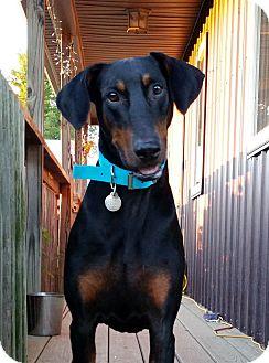Doberman Pinscher Dog for adoption in New Richmond, Ohio - Stealer--pending