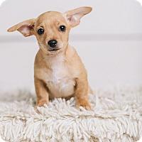 Adopt A Pet :: Buzz - Portland, OR