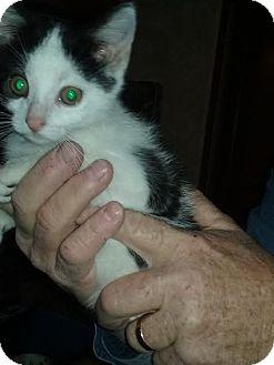 Domestic Shorthair Kitten for adoption in Delmont, Pennsylvania - 1Daniel