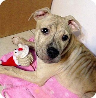 Bull Terrier Mix Puppy for adoption in Cincinnati, Ohio - Hunter