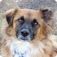 Retriever (Unknown Type) Mix Dog for adoption in Loxahatchee, Florida - Amado AKA Brownie