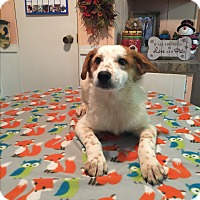 Adopt A Pet :: Chase - Kittery, ME