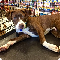 Adopt A Pet :: Bruno in Ct - Manchester, CT