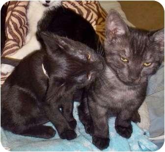 Egyptian Mau Kitten for adoption in Roseville, California - Charles & Nell