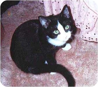 Domestic Shorthair Kitten for adoption in Warren, Ohio - Toby - Kitten #1