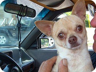Chihuahua Dog for adoption in Windsor, Missouri - Bennie