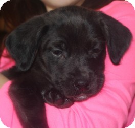 Labrador Retriever Mix Puppy for adoption in Marlton, New Jersey - Baby Cocoa