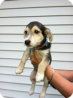 Schnauzer (Miniature) Mix Puppy for adoption in Waldorf, Maryland - Lilly