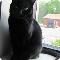 Domestic Shorthair Cat for adoption in Meriden, Connecticut - Jeter