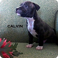 Adopt A Pet :: CALVIN - Higley, AZ