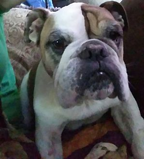 English Bulldog Dog for adoption in Decatur, Illinois - Hercules