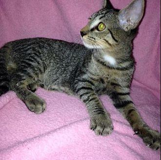 Domestic Shorthair Kitten for adoption in Sarasota, Florida - Gene