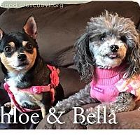 Adopt A Pet :: Bella - Essex Junction, VT