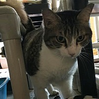 Domestic Shorthair Cat for adoption in Boca Raton, Florida - Baby Tippy