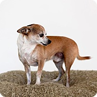 Chihuahua Mix Dog for adoption in Scottsdale, Arizona - Badger-No Adoption Fee!