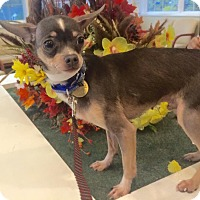 Chihuahua Dog for adoption in Oak Ridge, New Jersey - Presley