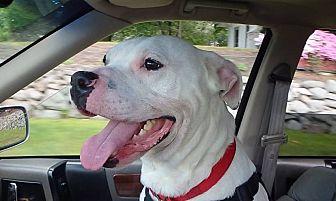 American Bulldog Mix Dog for adoption in Walden, New York - Joey