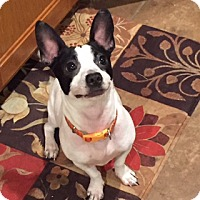 Adopt A Pet :: Chicko - Blue Bell, PA