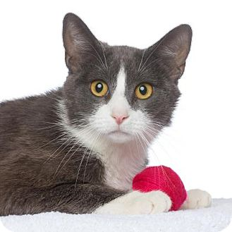 American Shorthair Cat for adoption in Los Angeles, California - Billie Holiday