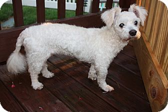 Poodle (Miniature)/Bichon Frise Mix Dog for adoption in Homer, New York - Lilly