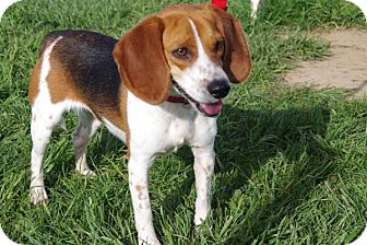 Beagle Mix Dog for adoption in Elyria, Ohio - Myrtle