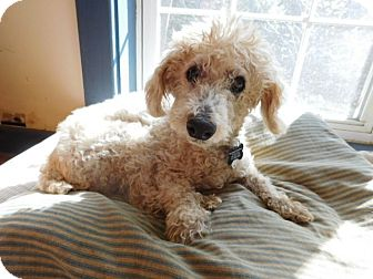 Poodle (Miniature) Dog for adoption in Millerstown, Pennsylvania - TONY
