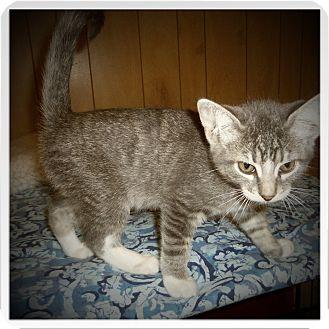 Domestic Shorthair Kitten for adoption in Medford, Wisconsin - ASHTON
