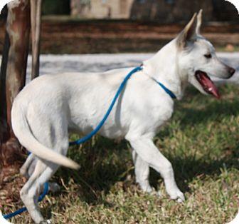 German Shepherd Dog/Husky Mix Puppy for adoption in White Cottage, Ohio - Magie