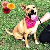Carolina Dog/Boxer Mix Dog for adoption in Richmond, Virginia - Ember Lou