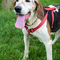 Treeing Walker Coonhound Dog for adoption in Christiana, Tennessee - Maybell