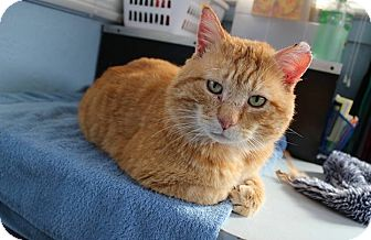 Domestic Shorthair Cat for adoption in Sullivan, Missouri - Flannery