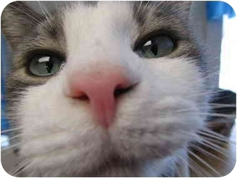 Domestic Shorthair Cat for adoption in Pascoag, Rhode Island - William