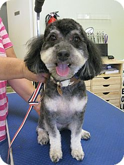Poodle (Miniature) Dog for adoption in Salem, Oregon - Kirby