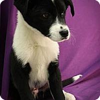 Adopt A Pet :: Ocean - Broomfield, CO