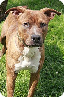 Labrador Retriever Mix Dog for adoption in Brookhaven, New York - Stan